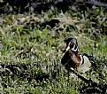 Picture Title - Mr. Wood Duck