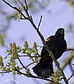 Picture Title - Sweet Gum Blackbird