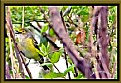 Picture Title - Whte-eyed Vireo