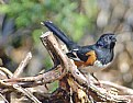 Picture Title - Eastern Towhee