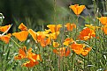 Picture Title - california poppy