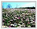 Picture Title - Daisy field