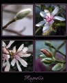 Picture Title - ...Magnolia...