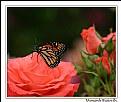 Picture Title - Monarch