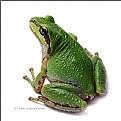 Tree Frog (No. 2)