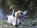 Picture Title - Swans A'Swimming