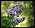 Picture Title - Lilacs in the Morning