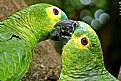 Picture Title - Parrot Couple