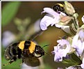 Picture Title - the flight of BumBlebEeS