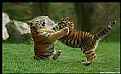 Picture Title - Tiger Cubs