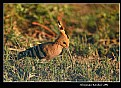 Picture Title - HOOPOE
