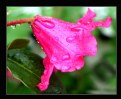 Picture Title - Rhody in the Rain