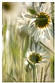 Picture Title - Evening Daisys