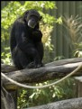 Picture Title - Contemplative Chimp