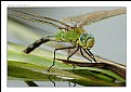 Picture Title - Anax Imperator