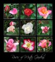 Picture Title - Roses of Minter Gardens