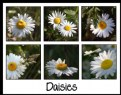 Picture Title - Daisies, Daisies, Daisies
