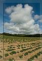 Picture Title - Potato crop