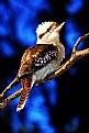 Picture Title - Kookaburra