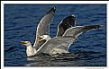 Picture Title - Fighting Sea Gulls
