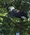 Picture Title - Bald Eagle