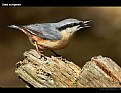 Picture Title - Nuthatch