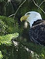 Picture Title - Another Eagle