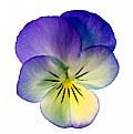 Picture Title - Viola