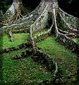 Rainforest Tree Roots