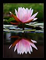 Picture Title - Water Lily