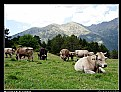 Picture Title - Mountain cows