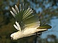 Picture Title - Cockatoo