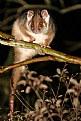 Picture Title - Australian Ringtail Possum