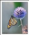 Monarch colours
