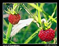 Picture Title - Wild Strawberry