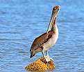 Picture Title - Pelican Posing