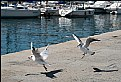 Picture Title - Gulls in the harbour