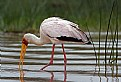 Picture Title - Yellow-Billed Stork