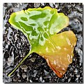 Picture Title - Gingko Study No. 2