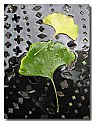 Picture Title - Gingko Study No. 3