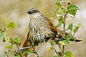 Picture Title - White-Browed Coucal