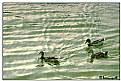 Picture Title - Trio of ducks
