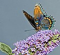 Picture Title - Red Spotted Purple