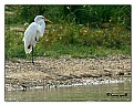 Picture Title - Egret across the lake