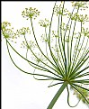 Picture Title - a dill