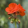 Picture Title - Geranium I