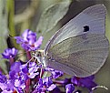 Picture Title - Cabbage Butterfly