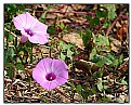 Picture Title - Wild morning glory