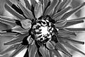 Picture Title - Black Dahlia
