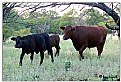 Picture Title - Heading out to pasture